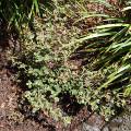 Correa reflexa nummulariifolia