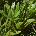 Kunzea baxterii nana