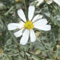 Tanacetum ptarmiciflorum