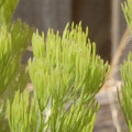 Adenanthos sericeus