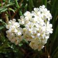 Archillea millifolium