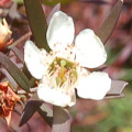 Leptospermum obovatum anisophyllea