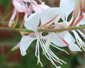 Oenothera lindheimeri