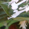 Plectranthus ecklonii